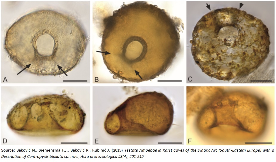First testate amoebae described from the karst caves in the world – Centropyxis bipilata sp. nov.